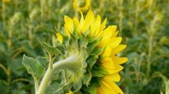 Beautiful landscape of sunflower field, DoF Stock Footage