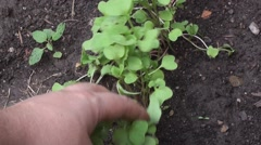 Young radish Stock Footage