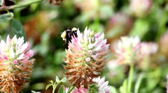 Buzzing Bumble Bee In The Clover - stock footage