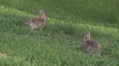 P03688 Cottontail Rabbit Pair on Green Grass in Summer Stock Footage