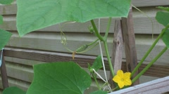 Little cucumber in the garden Stock Footage