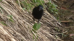 P03692 Common Grackle Blackbird Feeding in Marsh Stock Footage