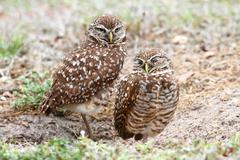 Burrowing owls (athene cunicularia) Stock Photos