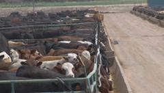 Cattle line the feed trough in the corrals of a feedlot operation. Stock Footage