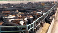Stock Video Footage of Cattle crowd the pens of a feedlot operation.