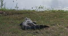 1885 Alligator Next to Pond, 4K Stock Footage