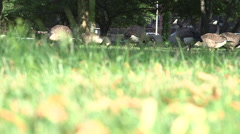 Geese eating grass in background, out of focus grass in foreground - stock footage