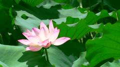 Beautiful single lotus flower swaying in the wind - stock footage