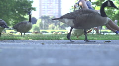 Single white goose eating grass, people going by in foreground Stock Footage