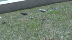 Pigeons down on meadow searching for food, big flock of birds, feeding scene Stock Footage