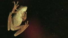 1891 Green Tree Frog on Window, HD Stock Footage