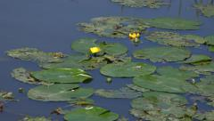 Nature Background Lush Green Aquatic Plants Lilly Pads On Water surface Stock Footage
