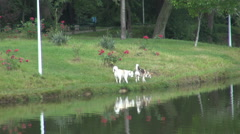 Two husky dogs on green grass near a lake, inside a park, walking and playing Stock Footage