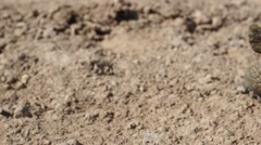 Desert Tortoise (Turtle) Paning Shot Stock Footage