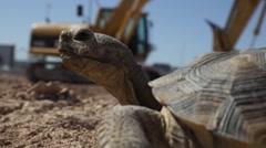 Desert Tortoise, Construction Site Stock Footage