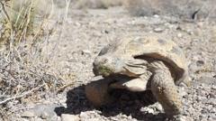 Desert Tortoise (Turtle) Walking Stock Footage