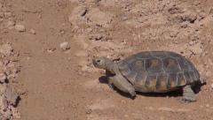 Desert Tortoise, Tire Tracks Stock Footage