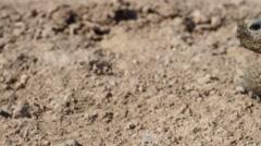 Desert Tortoise Looking Around Stock Footage