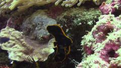 Juvenile bat fish fluttering Stock Footage