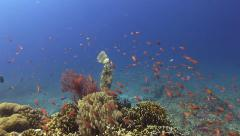 Scribbled File Fish sparkles on a bright colourful reef - stock footage