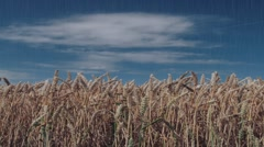 Wheat field in the rain Stock Footage