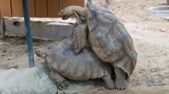 Tortoise  mating Stock Footage