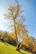 trees with fallen leaves - stock photo