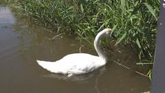 Wildlife Swan eating sweet grass leaves at side of river Stock Footage