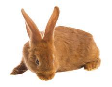 light brown rabbit - stock photo