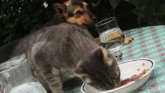 cat eats into a dish while cute little dog is watching: domestic animals - stock footage
