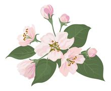 Apple tree flowers and green leaves Stock Illustration