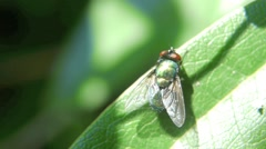 Greenbottle fly close up Stock Footage