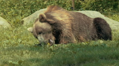 Grizzly bear eating an apple Stock Footage