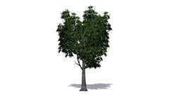 Tree - willow Oak - on white Background Stock Footage