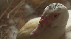 Angry Brooding White Goose Stock Footage