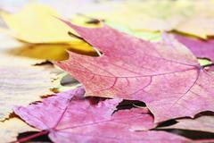 fallen autumn maple leaves - stock photo