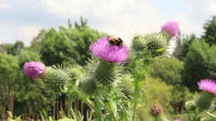 Bumblebees on pink flowers Stock Footage