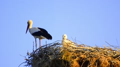 White stork (ciconia ciconia) in nest Stock Footage