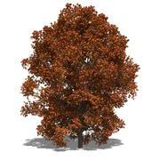 Acer saccharum autumn Stock Illustration