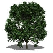 Acer pseudoplatanus summer Stock Illustration