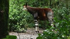 1900 Okapi Forest Giraffe, HD Stock Footage