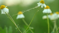 Stock Video Footage of camomile chamomile flowers. Full HD with motorized slider. 1080p