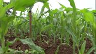 Stock Video Footage of corn crane shot