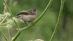 fledgling stonechat sitting on a branch - stock footage
