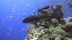 Red sea coral grouper Stock Footage
