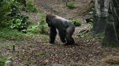 1910 Gorilla Walking Next to Rock, HD Stock Footage