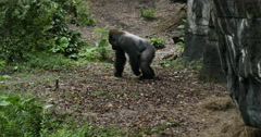 1910 Gorilla Walking Next to Rock, 4K Stock Footage