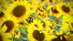 Backgound of sunflowers - stock footage