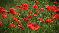Close-up poppy field Stock Footage