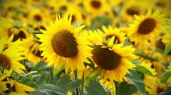 Backgound of some sunflowers Stock Footage